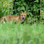 Fox baiting at Karaff Wetlands, Breamlea